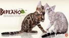 Kot bengalski - lampart w domu Konin