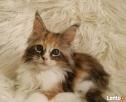 Wspaniałe kocięta maine coon - 1