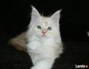 Wspaniałe kocięta maine coon - 3