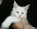 Wspaniałe kocięta maine coon - 7