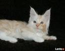 Wspaniałe kocięta maine coon - 5