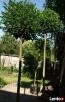Drzewa do nasadzeń zastępczych 14-18 cm - 2
