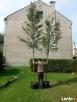 Drzewa do nasadzeń zastępczych 14-18 cm - 1