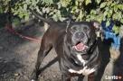 Bąbel, wspaniały pies dla osoby odpowiedzialnej i z doświadc - 6