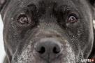 Bąbel, wspaniały pies dla osoby odpowiedzialnej i z doświadc - 2