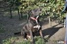 Bąbel, wspaniały pies dla osoby odpowiedzialnej i z doświadc - 5