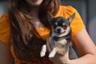 Chihuahua z rodowodem FCI - 8