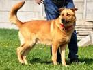 RUDAS-przepiękny, silny, energiczny młody psiak- posłuszny - 4