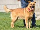 RUDAS-przepiękny, silny, energiczny młody psiak- posłuszny - 5