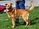 RUDAS-przepiękny, silny, energiczny młody psiak- posłuszny - 6