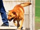 RUDAS-przepiękny, silny, energiczny młody psiak- posłuszny - 8