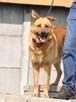 RUDAS-przepiękny, silny, energiczny młody psiak- posłuszny - 3