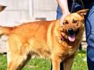 RUDAS-przepiękny, silny, energiczny młody psiak- posłuszny - 1