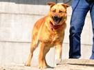 RUDAS-przepiękny, silny, energiczny młody psiak- posłuszny - 2