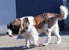 moskiewski pies stróżujący bernardyn kaukaz owczarek - 7