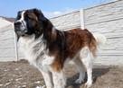 moskiewski pies stróżujący bernardyn kaukaz owczarek - 2