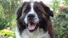 moskiewski pies stróżujący bernardyn kaukaz owczarek - 4