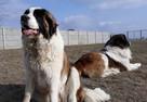 moskiewski pies stróżujący bernardyn kaukaz owczarek - 8