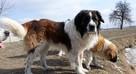 moskiewski pies stróżujący bernardyn kaukaz owczarek - 3