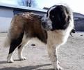 moskiewski pies stróżujący bernardyn kaukaz owczarek - 6