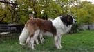 moskiewski pies stróżujący bernardyn kaukaz owczarek - 1