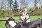Axel cudny Alaskan Malamute chce odnaleźć swojego człowieka - 4