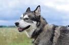 Axel cudny Alaskan Malamute chce odnaleźć swojego człowieka - 8