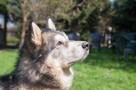 Axel cudny Alaskan Malamute chce odnaleźć swojego człowieka - 3