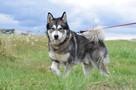 Axel cudny Alaskan Malamute chce odnaleźć swojego człowieka - 6