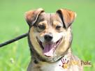 KACHUL-niewielki psiak o bardzo wesołym,radosnym usposobieni - 8