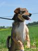 KACHUL-niewielki psiak o bardzo wesołym,radosnym usposobieni - 7