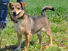 KACHUL-niewielki psiak o bardzo wesołym,radosnym usposobieni - 2