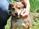 KACHUL-niewielki psiak o bardzo wesołym,radosnym usposobieni - 4