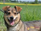KACHUL-niewielki psiak o bardzo wesołym,radosnym usposobieni - 6