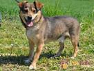 KACHUL-niewielki psiak o bardzo wesołym,radosnym usposobieni - 5
