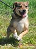 KACHUL-niewielki psiak o bardzo wesołym,radosnym usposobieni - 3