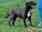 KONRAD-cudowny psiak o duszy 100% amstaffa-szukamy domu - 2