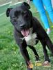 KONRAD-cudowny psiak o duszy 100% amstaffa-szukamy domu - 8