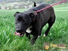 KONRAD-cudowny psiak o duszy 100% amstaffa-szukamy domu - 4