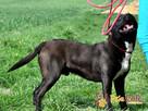 KONRAD-cudowny psiak o duszy 100% amstaffa-szukamy domu - 7