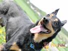HOMEREK-prześliczny, miły, grzeczny i spokojny psiak-adopcja - 4