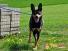 HOMEREK-prześliczny, miły, grzeczny i spokojny psiak-adopcja - 5