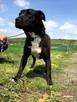 KONRAD-bardzo wesoły, pogodny, energiczny psiak w typie amst - 3