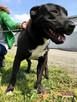 KONRAD-bardzo wesoły, pogodny, energiczny psiak w typie amst - 6