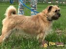 RICHI-piękny kudłacz-pogodny, spokojny, przyjazny młody psiak - 4
