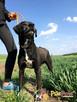 FARO-wspaniały, przepiękny psiak w typie pointera-kocha ludzi - 4