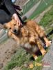 KELWINEK-wspaniały, przemiły,kochany kudłaty psiak-5 lat-ADOP - 3