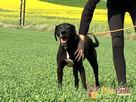 FARO-wspaniały, przepiękny psiak w typie pointera-kocha ludzi - 3