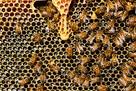 Usunę niechciane roje pszczół, ule, pszczoły