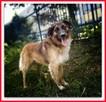1,5roku, duży,40kg,łagodny, towarzyski,szczepiony pies LEON. - 4